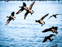 Brant_In_Formation