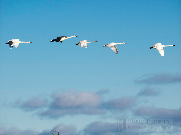 Swans_and_Clouds